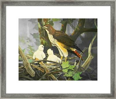 Red-tailed Hawk And Chicks Available Framed Print