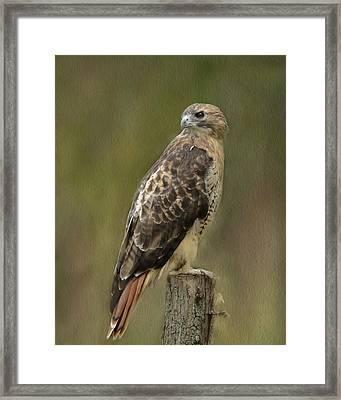 Red-tailed Hawk Framed Print by Ann Bridges