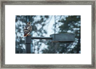 Framed Print featuring the photograph Red Tailed Hawk At Parkside by Ricky L Jones