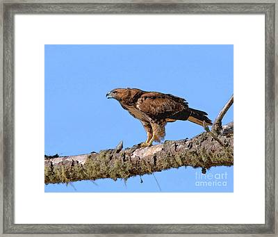 Red-tailed Hawk Framed Print by Betty LaRue