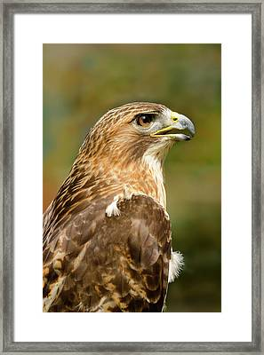Framed Print featuring the photograph Red-tailed Hawk Close-up by Ann Bridges