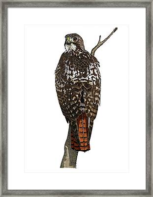 Red-tailed Hawk - Color Framed Print