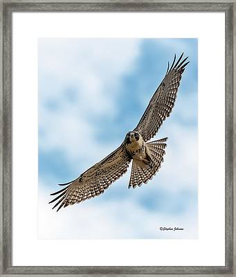 Red-tailed Hawk Coming At Me Framed Print