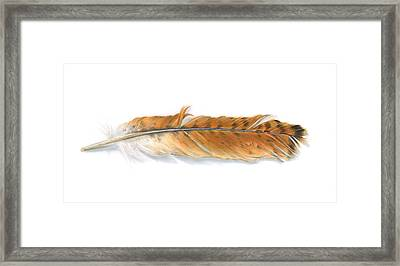 Red-tailed Hawk Feather Framed Print by Logan Parsons
