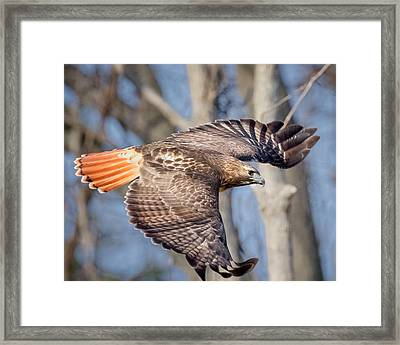 Red Tailed Hawk Flying Framed Print by Bill Wakeley
