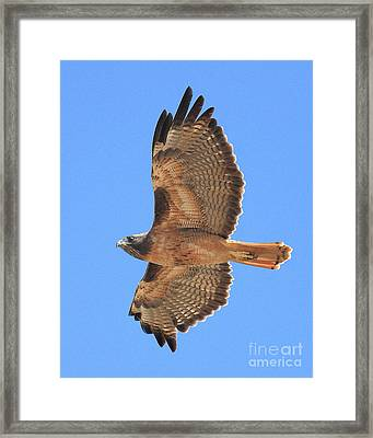 Red Tailed Hawk In Flight 2 Framed Print by Wingsdomain Art and Photography