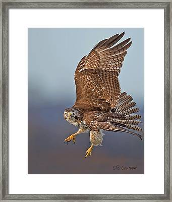 Red-tailed Hawk In Flight Framed Print by CR  Courson