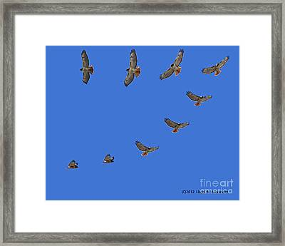 Red Tailed Hawk In Flight Framed Print