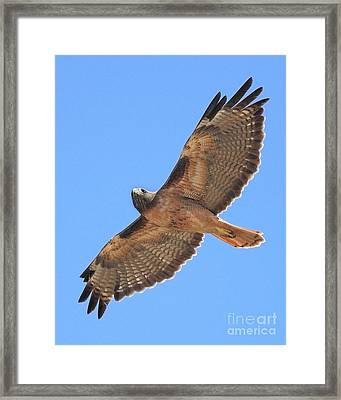 Red Tailed Hawk In Flight Framed Print by Wingsdomain Art and Photography