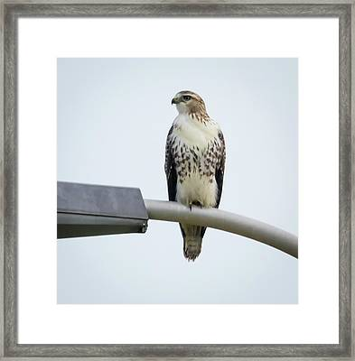 Framed Print featuring the photograph Red-tailed Hawk Looking At Me by Ricky L Jones