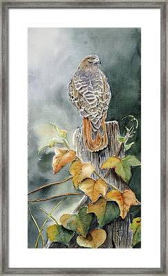Red-tailed Hawk Lookout Framed Print by Patricia Pushaw