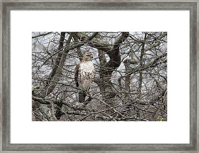 Red-tailed Hawk Oakdale New York Framed Print