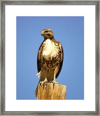Red-tailed Hawk On Post Framed Print