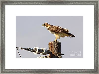 Red Tailed Hawk Perched Framed Print by Robert Frederick