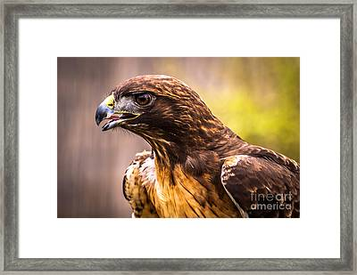 Red Tailed Hawk Profile Framed Print