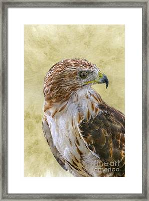 Red Tailed Hawk Framed Print by Randy Steele