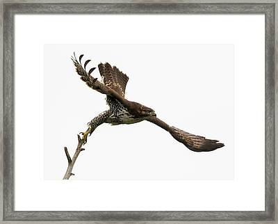 Red-tailed Hawk Swoosh Framed Print