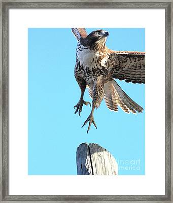 Red Tailed Hawk Taking Off . 40d10170 Framed Print by Wingsdomain Art and Photography