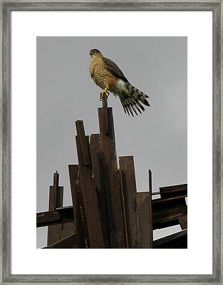 Red-tailed Hawk Framed Print by Vari Buendia
