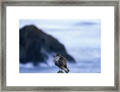 Red-tailed Hawk - Westport Union Landing State Beach Framed Print