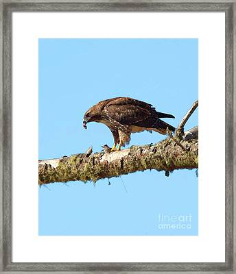 Red-tailed Hawk With Prey Framed Print by Betty LaRue