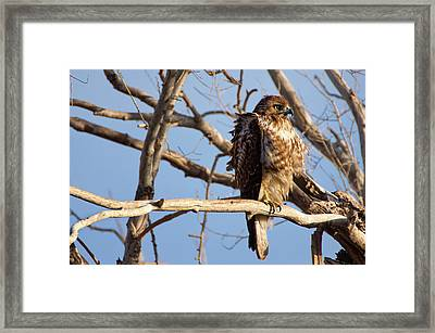 Red Tailed Framed Print by John De Bord