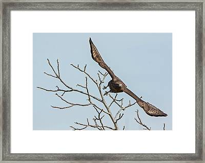 Red-tailed Launch Framed Print by Loree Johnson