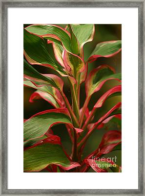 Red Ti Plant Framed Print by Ron Dahlquist - Printscapes