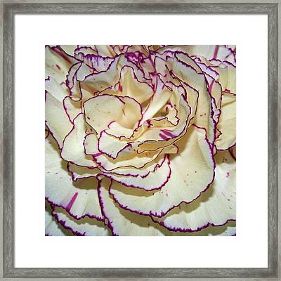 Red Tipped Carnation Framed Print by Robert Shard