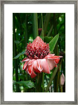 Red Torch Ginger Framed Print by Tropical Ties Dominica