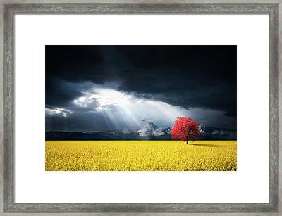 Red Tree On Canola Meadow Framed Print