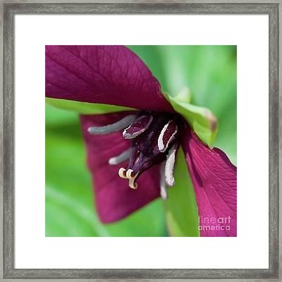 Red Trillium.. Framed Print