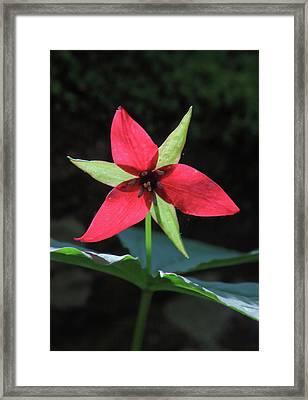 Red Trillium Wildflower Framed Print by John Burk