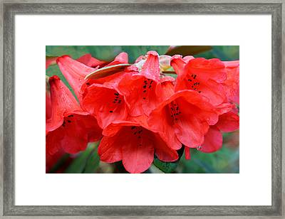 Red Trumpet Rhodies Framed Print