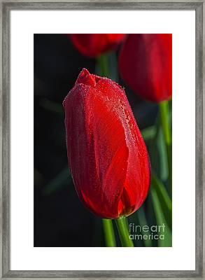 Red Tulip - Hd Framed Print