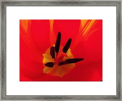 Red Tulip II Framed Print