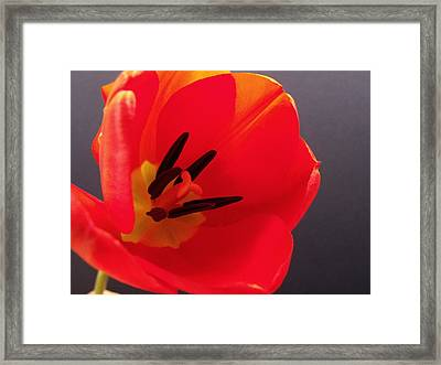 Red Tulip IIi Framed Print by Anna Villarreal Garbis