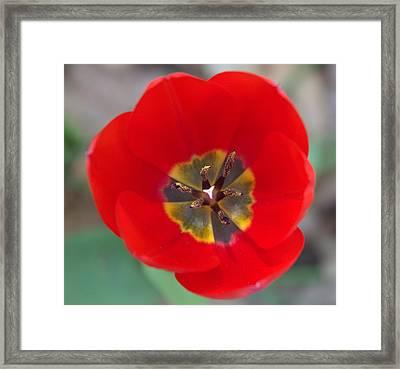 Red Tulip In 3d Framed Print by Liz Allyn