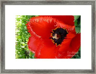 Framed Print featuring the photograph Red Tulip by Jean Bernard Roussilhe
