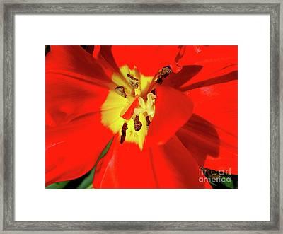 Red Tulip Framed Print by Nina Ficur Feenan