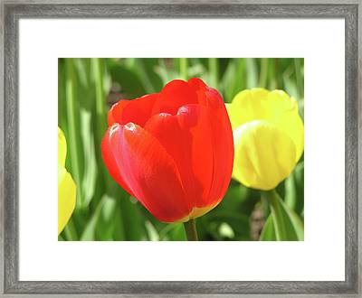 Red Tulip  Framed Print by Richard Mitchell