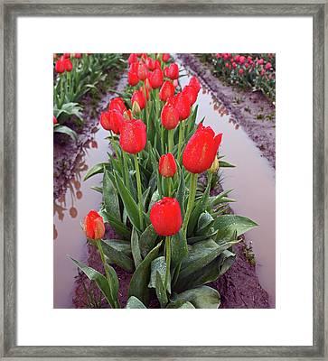 Red Tulip Row Framed Print by Kami McKeon