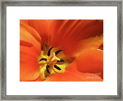 Red Tulip Framed Print by Susan Cole Kelly