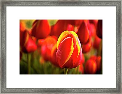 Red Tulip Framed Print by Tamyra Ayles