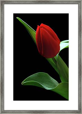 Red Tulip. Framed Print