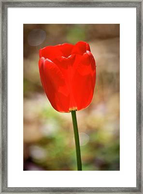 Red Tulip Framed Print by Teresa Mucha