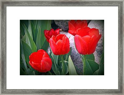 Red Tulips Closeup Framed Print