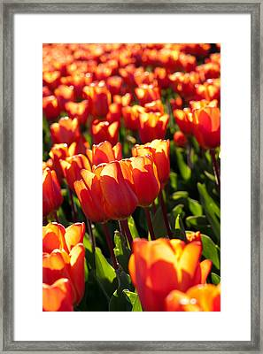 Red Tulips Framed Print by Francesco Emanuele Carucci