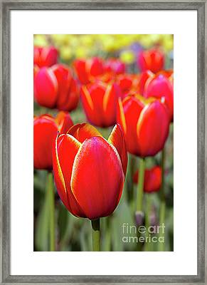 Red And Yellow Tulips I Framed Print