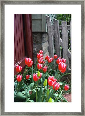 Red Tulips In A Wisconsin Garden Framed Print by Greg Kopriva